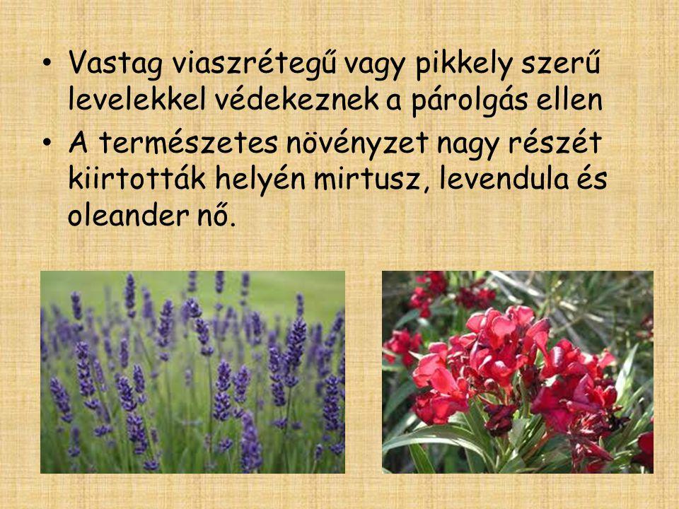 • Vastag viaszrétegű vagy pikkely szerű levelekkel védekeznek a párolgás ellen • A természetes növényzet nagy részét kiirtották helyén mirtusz, levend