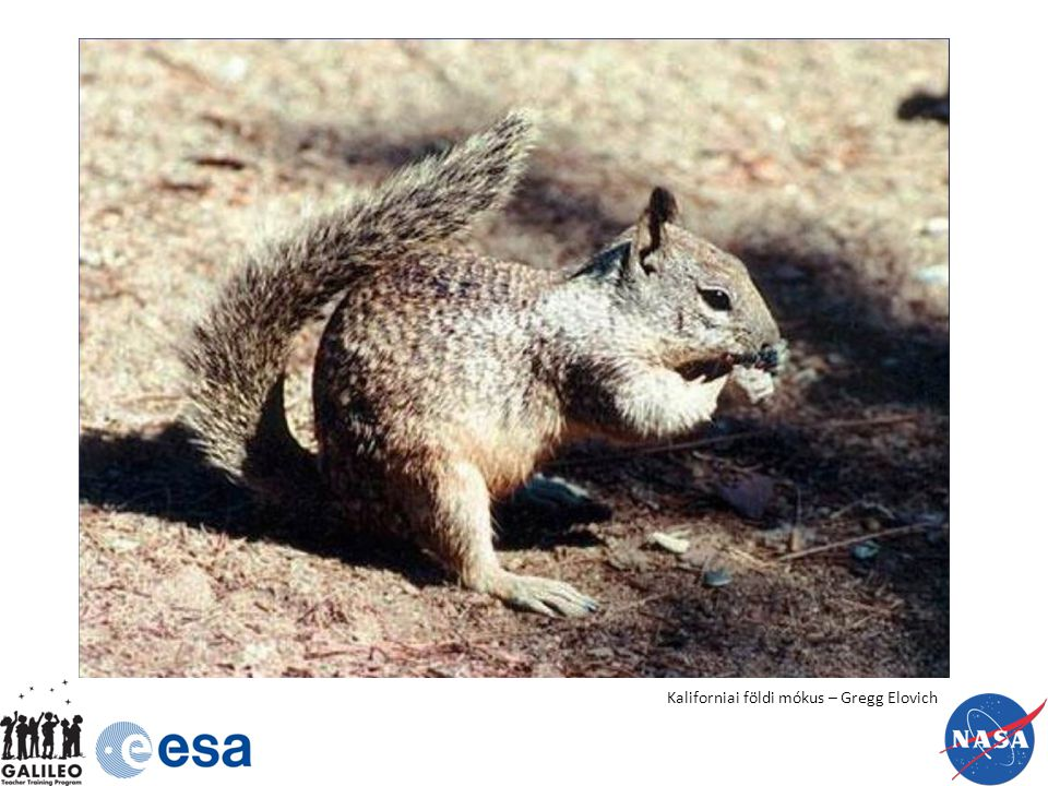 Kaliforniai földi mókus – Gregg Elovich