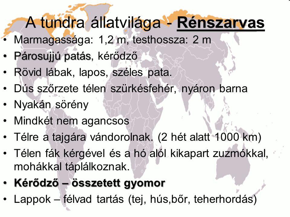 Rénszarva A tundra állatvilága - Rénszarvas •Marmagassága: 1,2 m, testhossza: 2 m •Párosujjú patás •Párosujjú patás, kérődző •Rövid lábak, lapos, szél