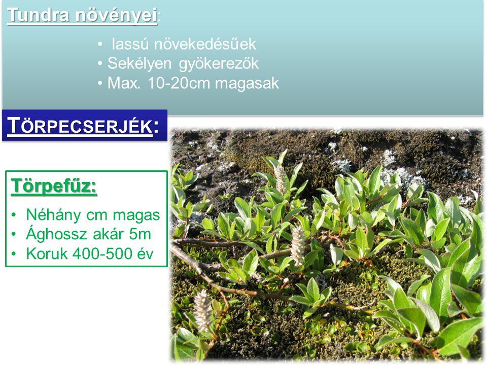 Törpefűz: •Néhány cm magas •Ághossz akár 5m •Koruk 400-500 év Tundra növényei Tundra növényei : • lassú növekedésűek •Sekélyen gyökerezők •Max. 10-20c