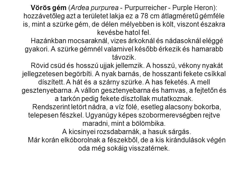• Gólyatöcs (Himantopus himantopus - Stelzenläufer - Black-winged Stilt) v.