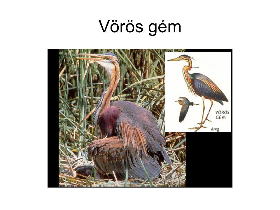 •Szürke gém (Ardea cinerea - Fischreiher - Grey Heron), népiesen darugém v.