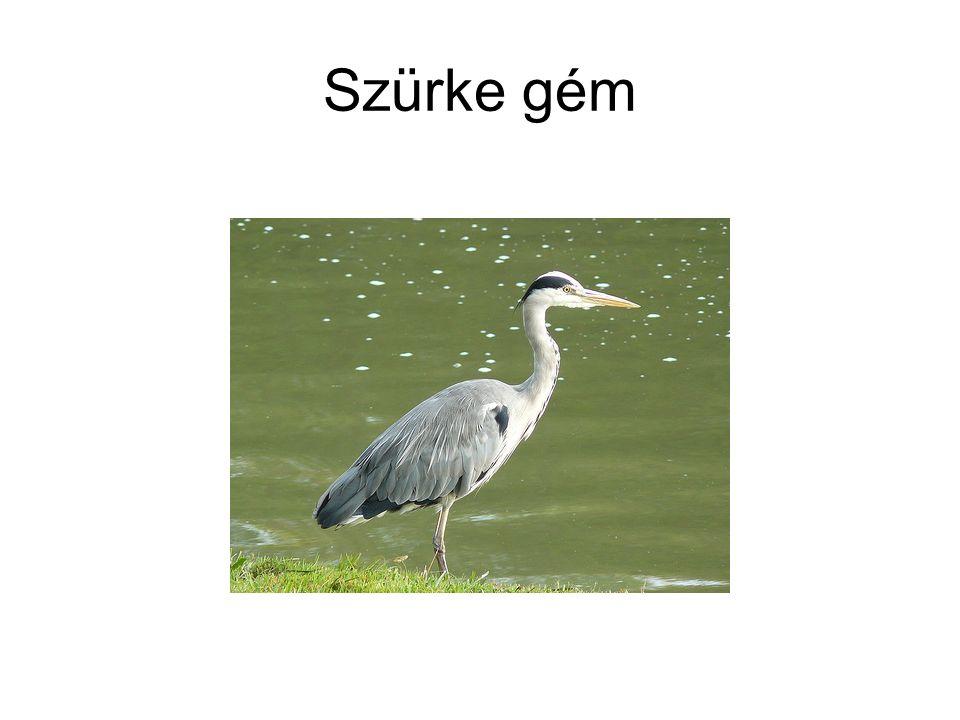 • Nagy kócsag (Egretta alba v.Casmerodius albus - Silberreiher - Great Egret) v.