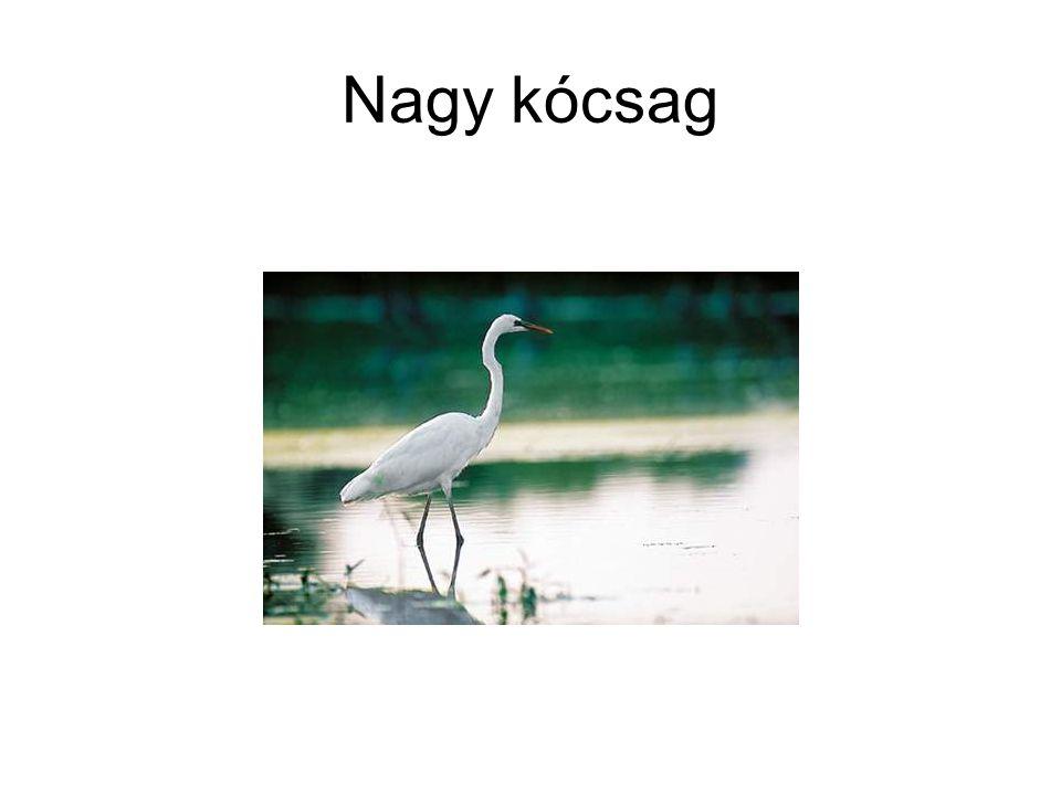 • Kis kócsag (Egretta garzetta - Seidenreiher - Little Egret) v.