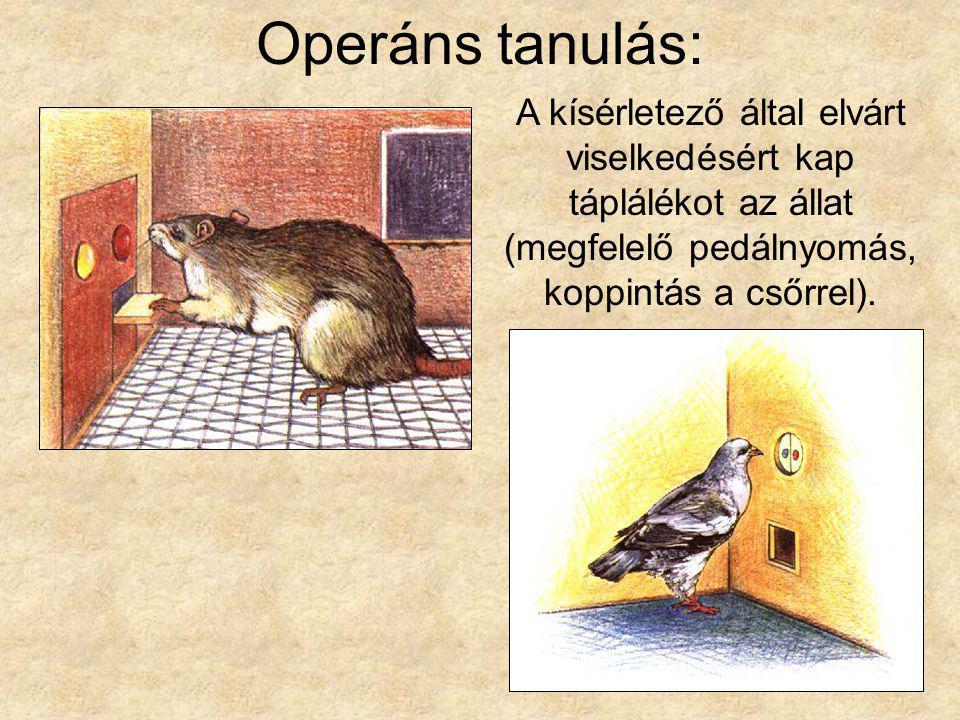 Operáns tanulás: A kísérletező által elvárt viselkedésért kap táplálékot az állat (megfelelő pedálnyomás, koppintás a csőrrel).