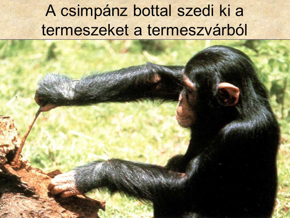A csimpánz bottal szedi ki a termeszeket a termeszvárból