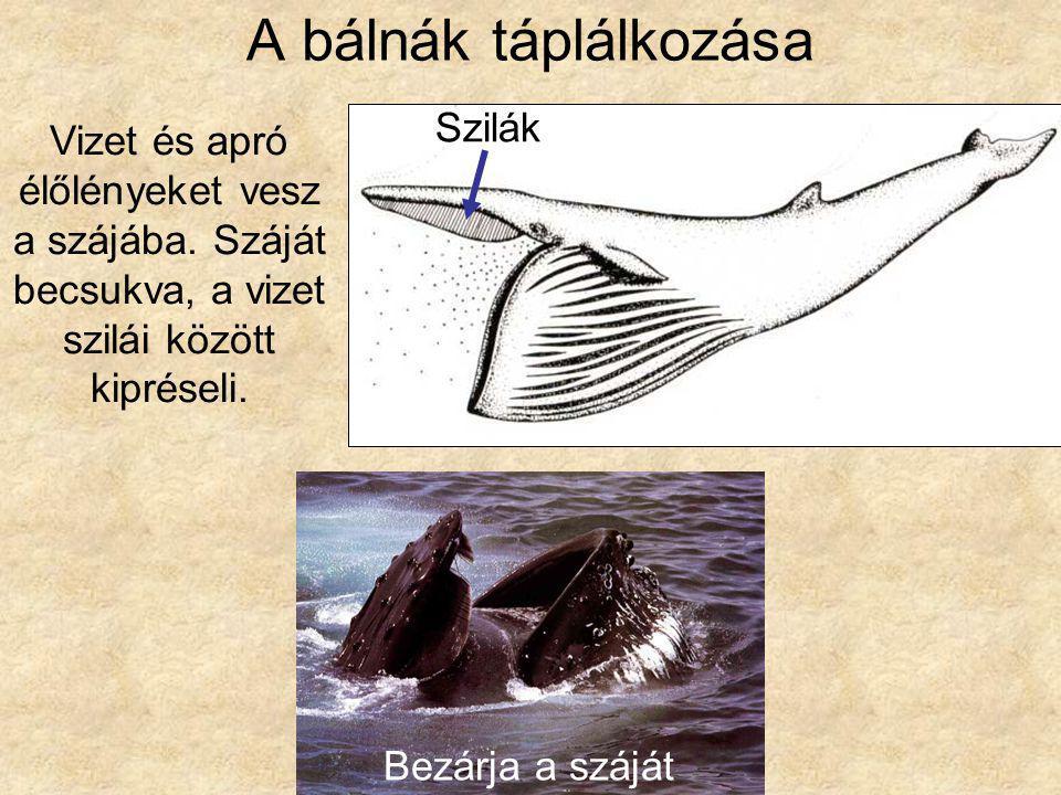 A bálnák táplálkozása Vizet és apró élőlényeket vesz a szájába. Száját becsukva, a vizet szilái között kipréseli. Szilák Bezárja a száját