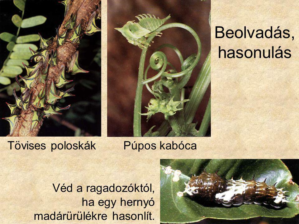 Beolvadás, hasonulás Tövises poloskákPúpos kabóca Véd a ragadozóktól, ha egy hernyó madárürülékre hasonlít.