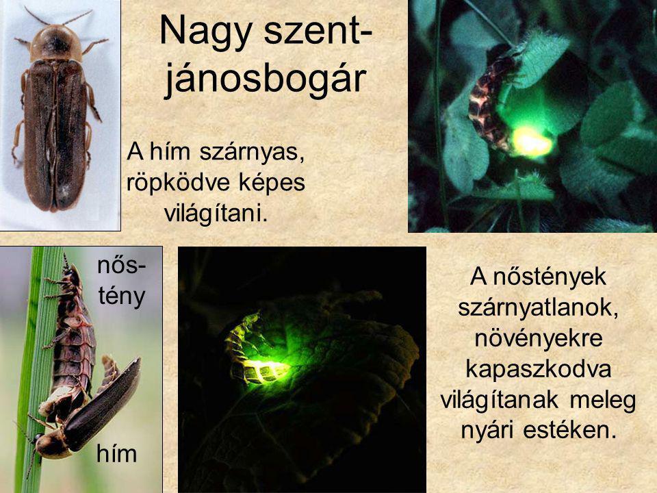 Nagy szent- jánosbogár A hím szárnyas, röpködve képes világítani. A nőstények szárnyatlanok, növényekre kapaszkodva világítanak meleg nyári estéken. n