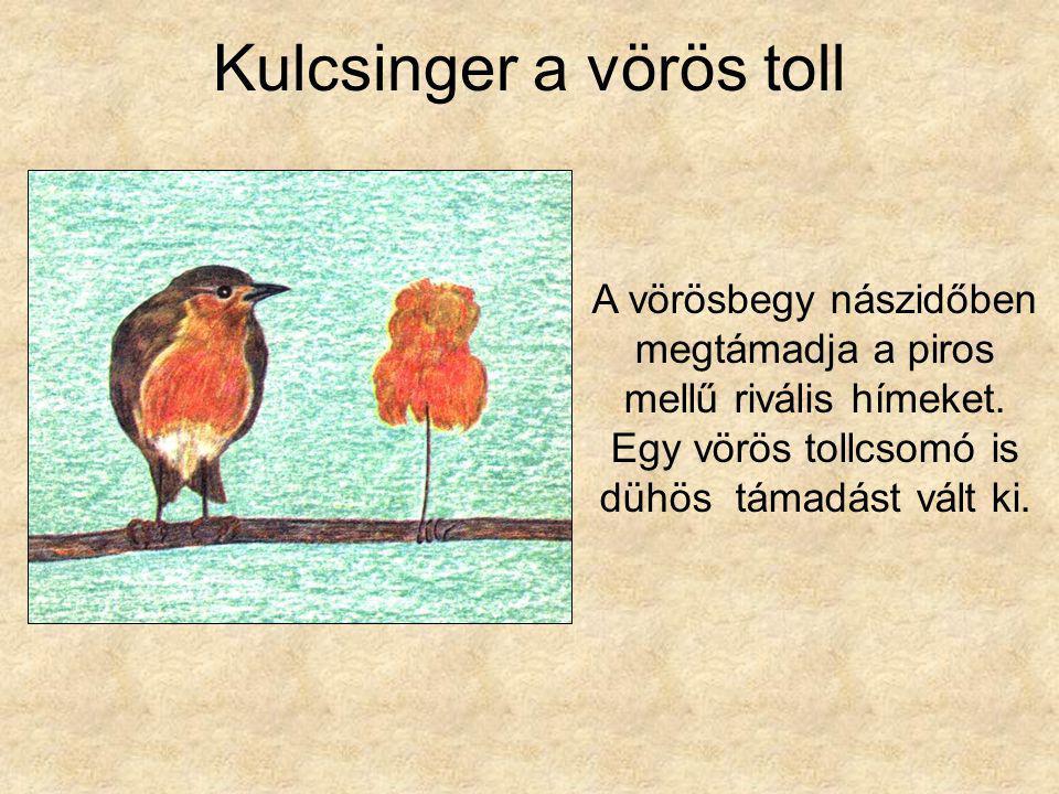 Kulcsinger a vörös toll A vörösbegy nászidőben megtámadja a piros mellű rivális hímeket. Egy vörös tollcsomó is dühös támadást vált ki.