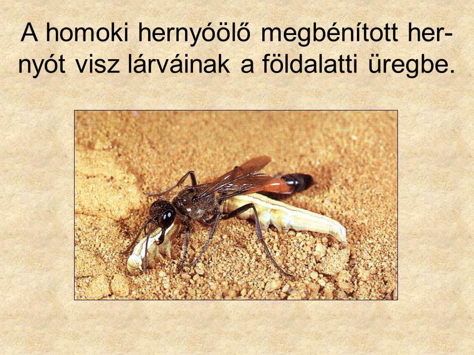 A homoki hernyóölő megbénított her- nyót visz lárváinak a földalatti üregbe.