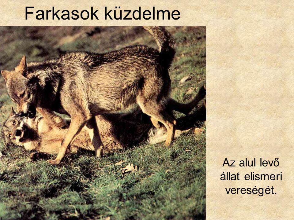 Farkasok küzdelme Az alul levő állat elismeri vereségét.
