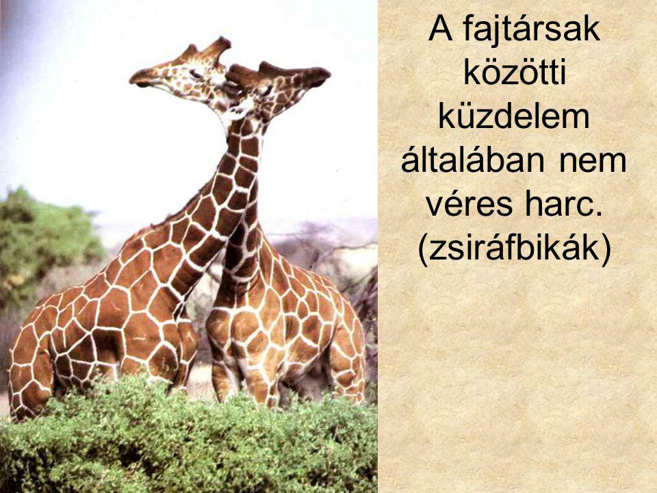 A fajtársak közötti küzdelem általában nem véres harc. (zsiráfbikák)