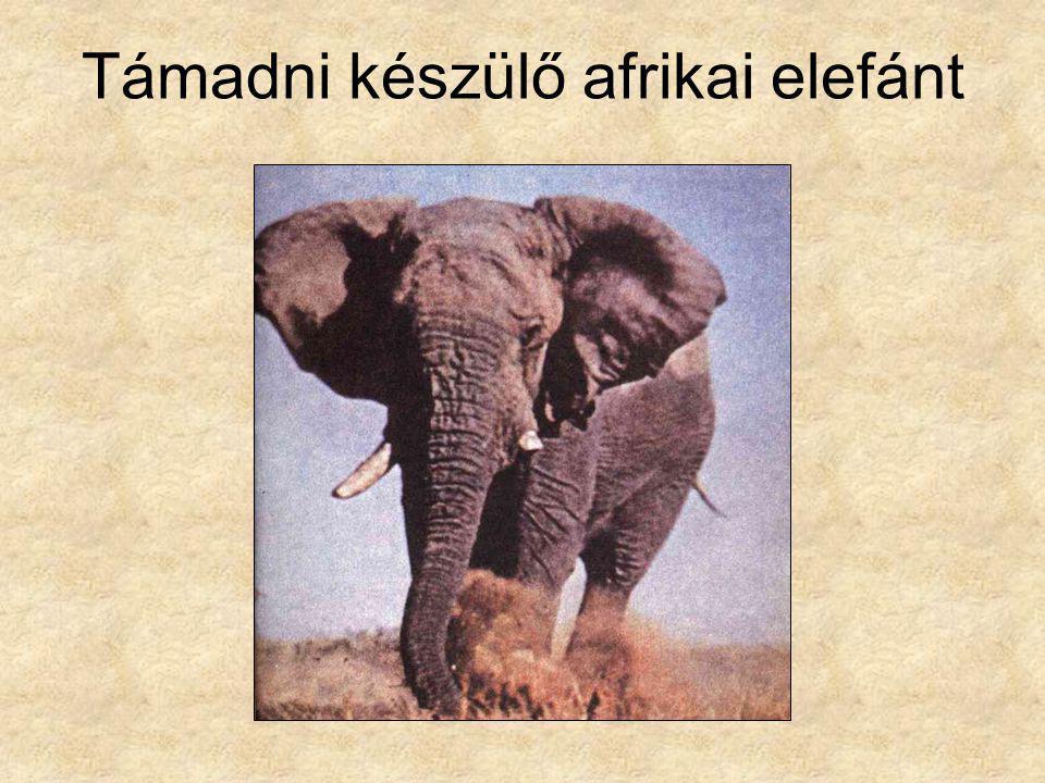 Támadni készülő afrikai elefánt