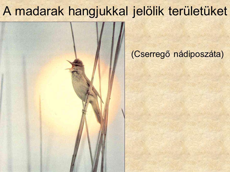 A madarak hangjukkal jelölik területüket (Cserregő nádiposzáta)