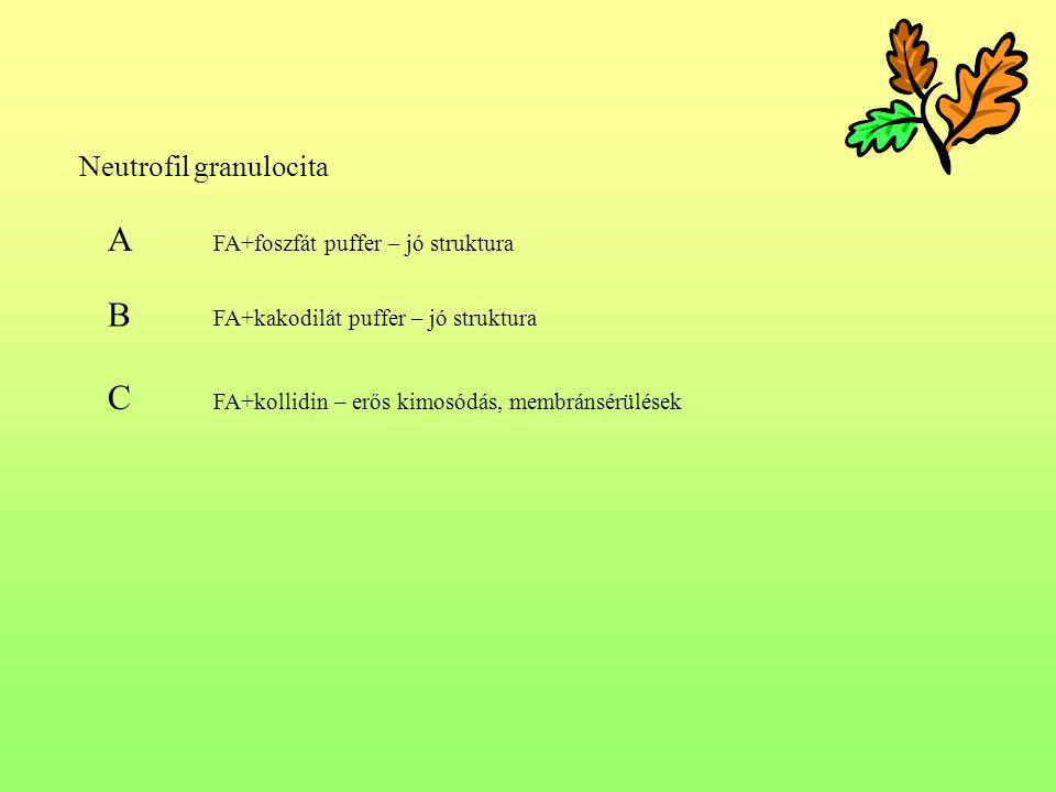 A FA+foszfát puffer – jó struktura B FA+kakodilát puffer – jó struktura C FA+kollidin – erős kimosódás, membránsérülések Neutrofil granulocita