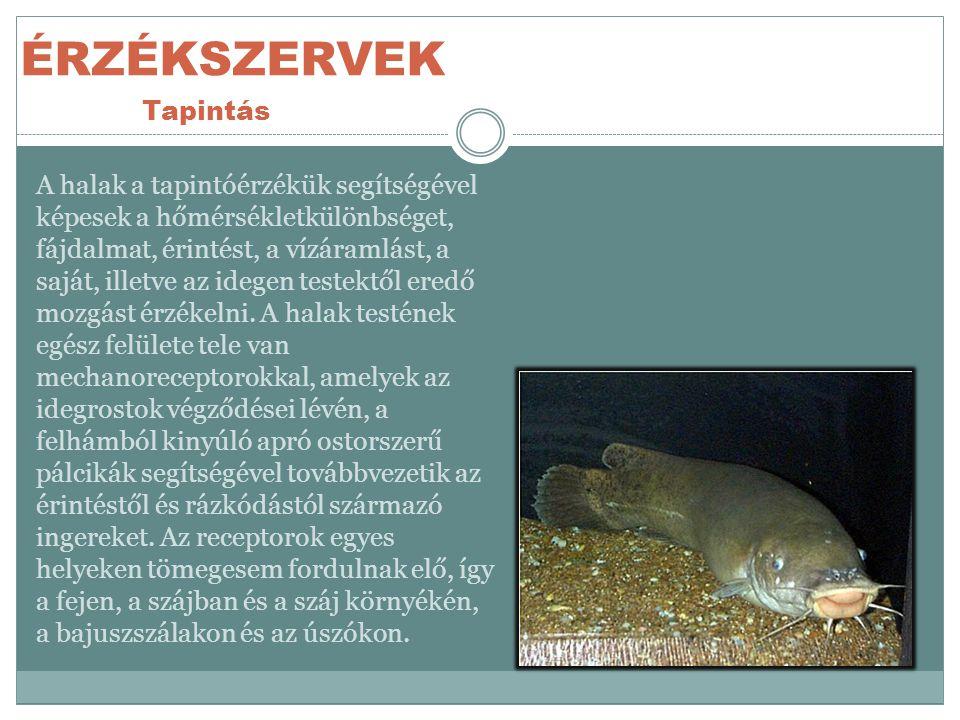 ÉRZÉKSZERVEK Tapintás A halak a tapintóérzékük segítségével képesek a hőmérsékletkülönbséget, fájdalmat, érintést, a vízáramlást, a saját, illetve az idegen testektől eredő mozgást érzékelni.