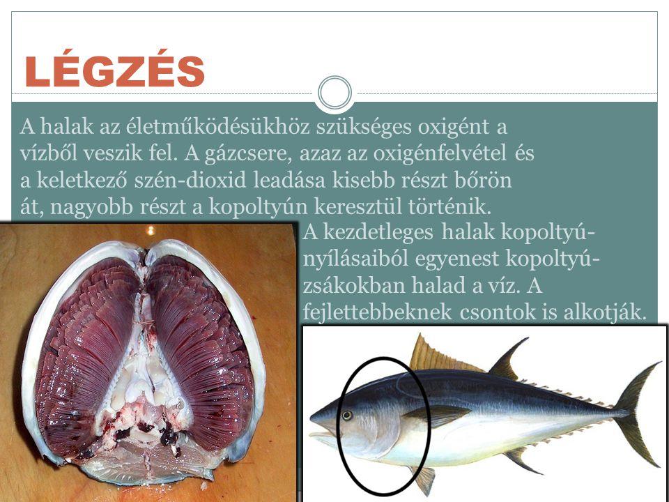 LÉGZÉS A halak az életműködésükhöz szükséges oxigént a vízből veszik fel.