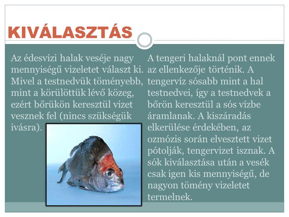 KIVÁLASZTÁS Az édesvízi halak veséje nagy mennyiségű vizeletet választ ki.