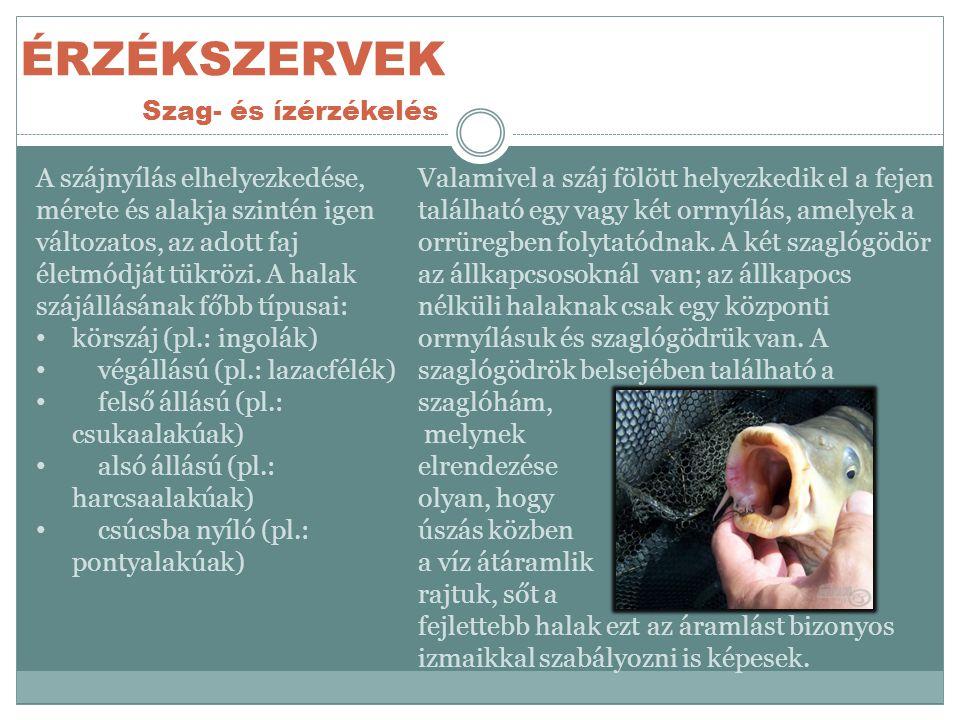 ÉRZÉKSZERVEK Szag- és ízérzékelés Valamivel a száj fölött helyezkedik el a fejen található egy vagy két orrnyílás, amelyek a orrüregben folytatódnak.