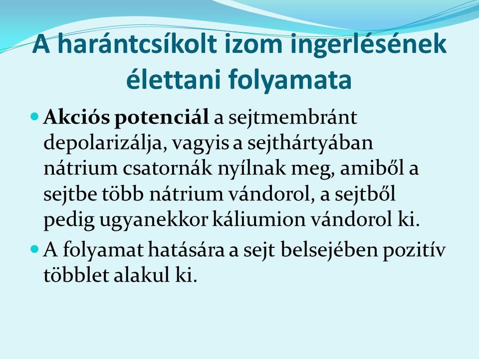 A harántcsíkolt izom ingerlésének élettani folyamata Akciós potenciál a sejtmembránt depolarizálja, vagyis a sejthártyában nátrium csatornák nyílnak m