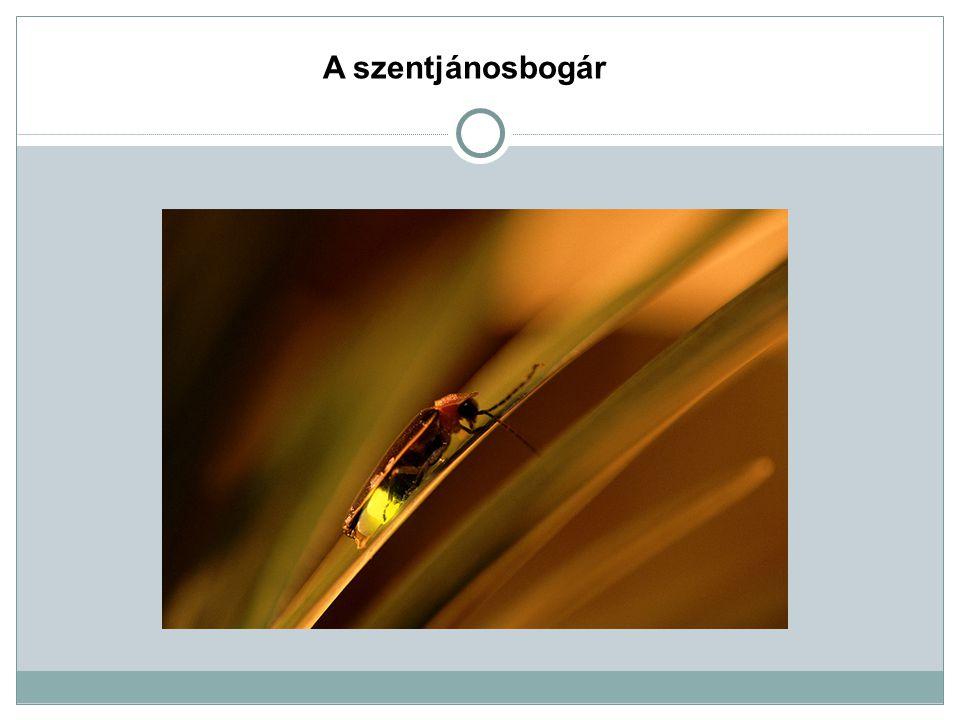 A szentjánosbogár A szentjánosbogár