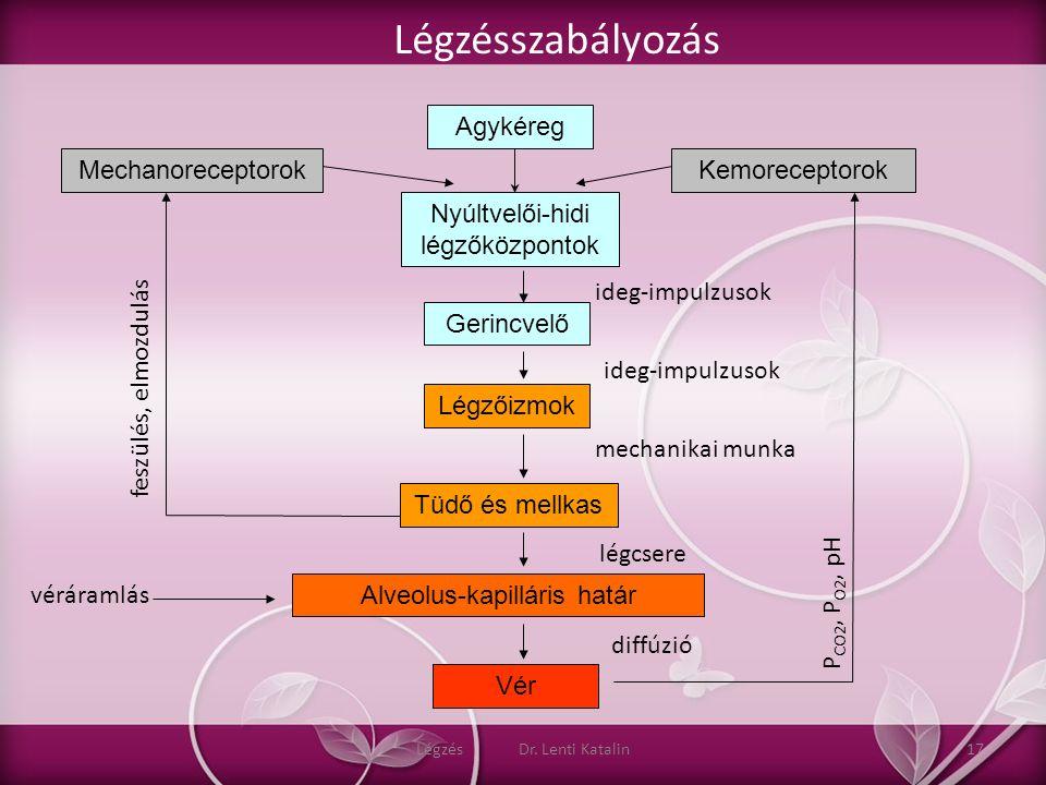 Vér Nyúltvelői-hidi légzőközpontok Gerincvelő Légzőizmok Tüdő és mellkas Alveolus-kapilláris határ Agykéreg KemoreceptorokMechanoreceptorok P CO2, P O
