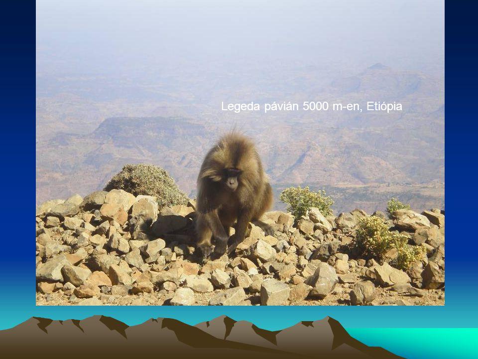 Legeda pávián 5000 m-en, Etiópia