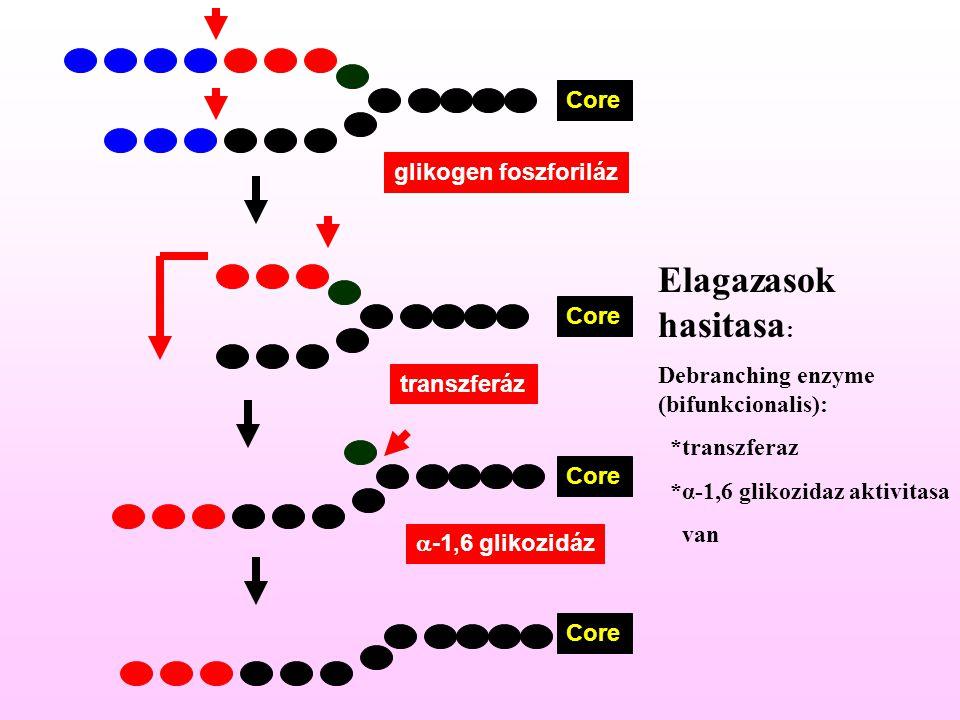 Core glikogen foszforiláz Core transzferáz Core  -1,6 glikozidáz Core Elagazasok hasitasa : Debranching enzyme (bifunkcionalis): *transzferaz *α-1,6