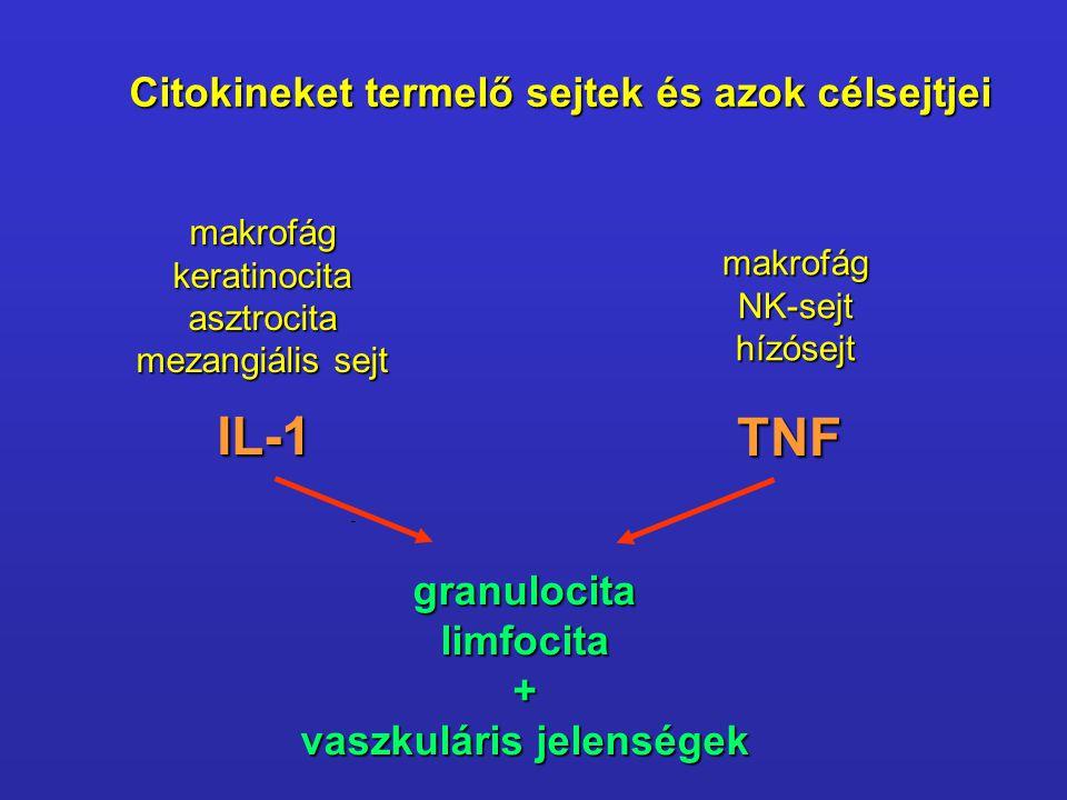 Citokineket termelő sejtek és azok célsejtjei makrofágkeratinocitaasztrocita mezangiális sejt makrofágNK-sejthízósejt IL-1 TNF granulocitalimfocita+ v
