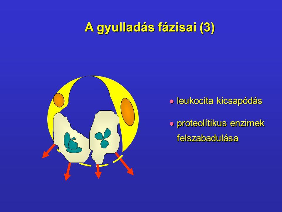 A gyulladás fázisai (3)  leukocita kicsapódás  proteolítikus enzimek felszabadulása felszabadulása