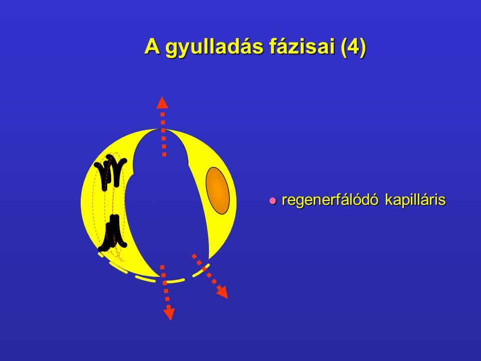 CitokinNO PAF P szelektin E szelektin IL-8 Endothel sejt aktivációja