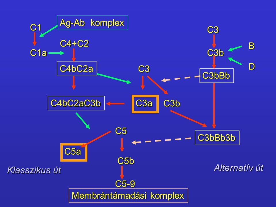 C1 C1a C4+C2 C4bC2a C3 C3a C3b C4bC2aC3b C5 C5b C5a C5-9 C3 C3b C3bBb C3bBb3b B D Ag-Ab komplex Membrántámadási komplex Klasszikus út Alternatív út