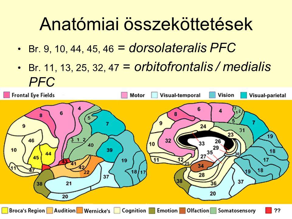 Anatómiai összeköttetések •Br. 9, 10, 44, 45, 46 = dorsolateralis PFC •Br. 11, 13, 25, 32, 47 = orbitofrontalis / medialis PFC