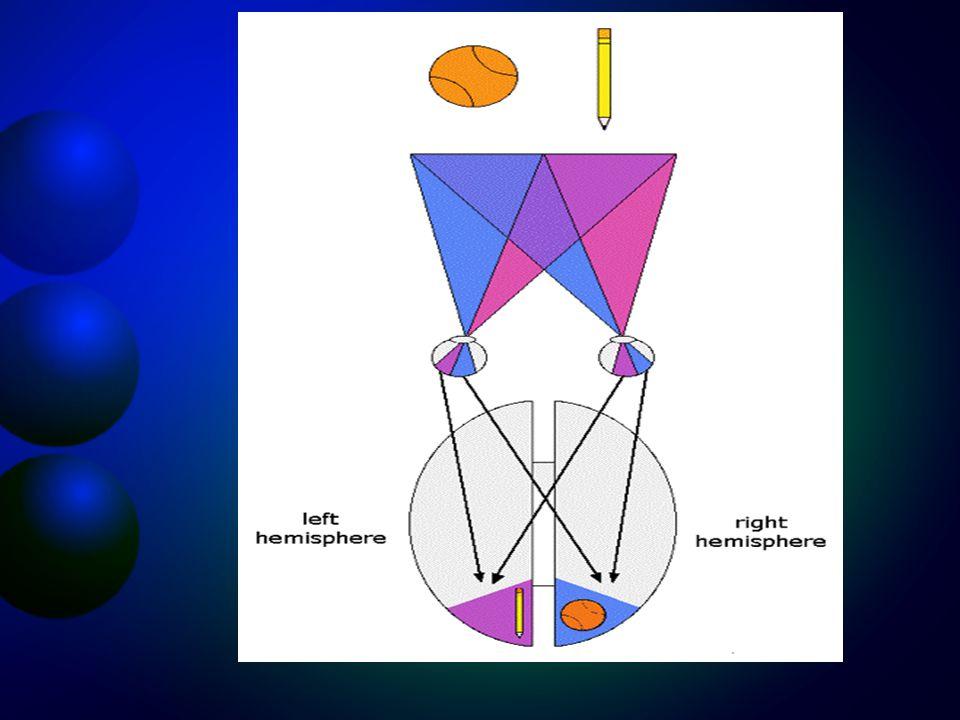 Látás Az a neuronális pálya mely az látás során a retinában elhelyezkedő csapokból és pálcikákból az idegimpulzust az agyba vezeti szintén hasonló min