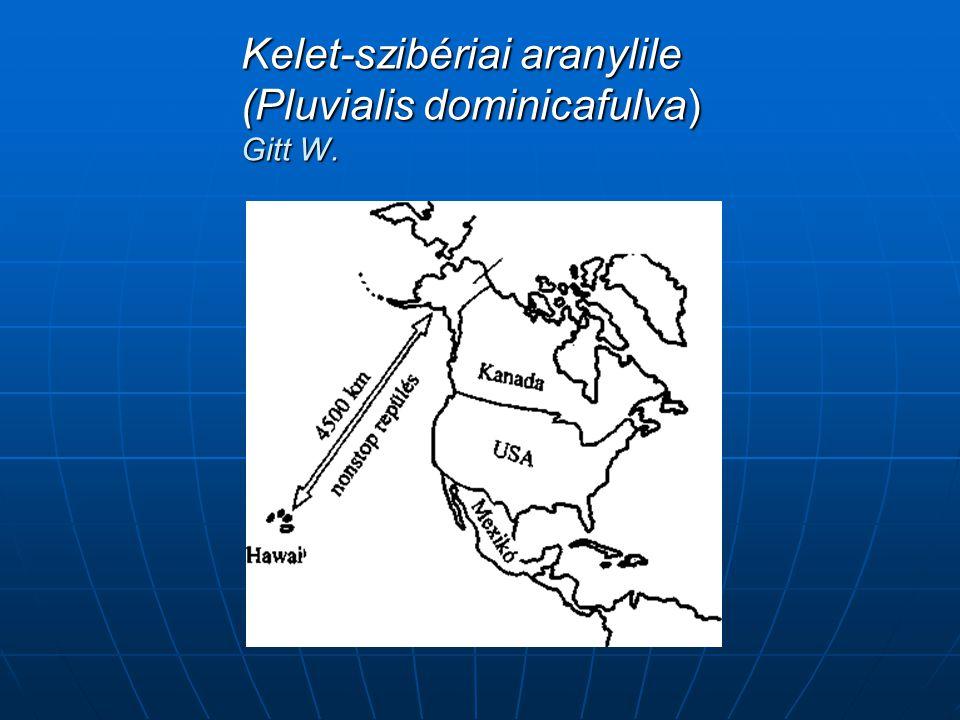 Kelet-szibériai aranylile (Pluvialis dominicafulva) Gitt W.