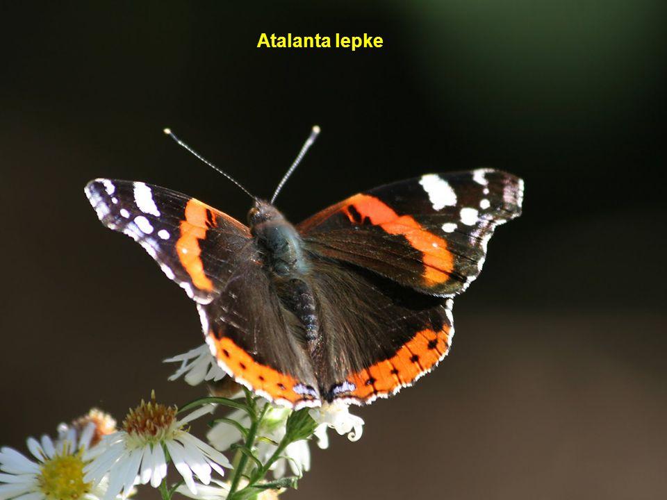 Atalanta lepke