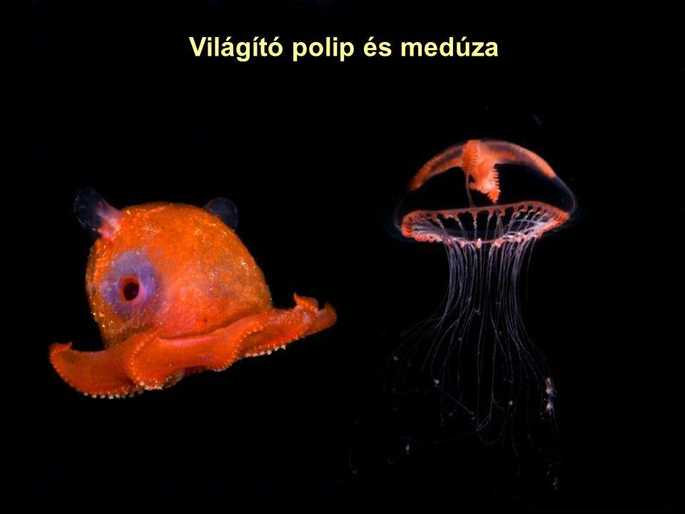Világító medúzák A fluoreszkáló fehérjét (GFP) elsőként az Aequorea victoria csendes-óceáni medúzából izolálták; világító képessége a környezeti hatásokra sem csökken.