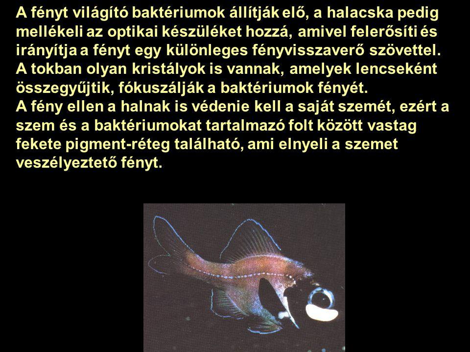 Különleges tengeri fényforrás egy kb. 8cm méretű halacska, amely úgy vetíti előre a fényt, mint ahogy egy autó reflektora. Mire használja vajon a hal