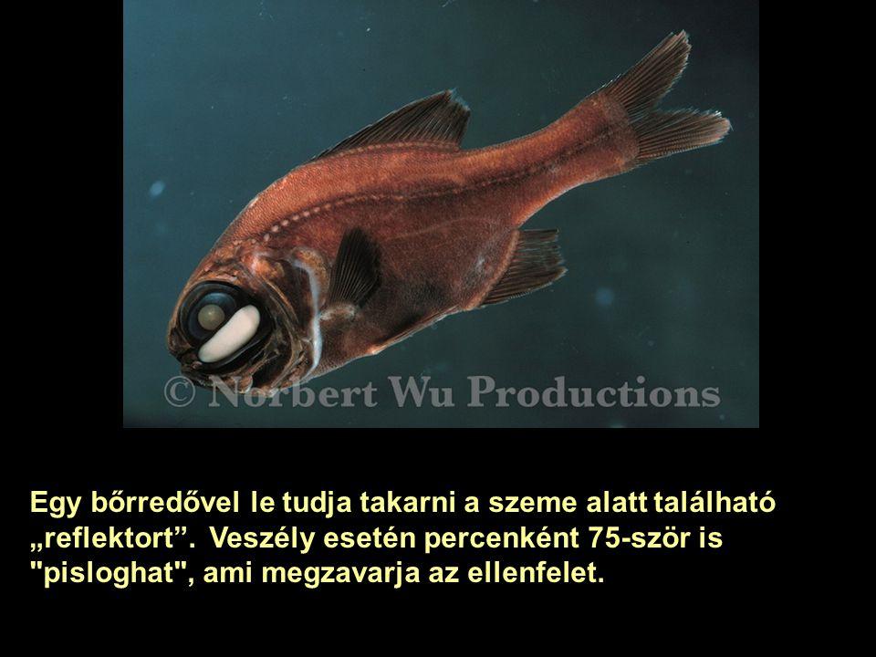 A szem alatti fényfoltban, az un. fotoforában a baktériumok milliárdjai élnek. A szimbiotikus kapcsolatban a hal adja a táplálékot az egysejtűnek, a b