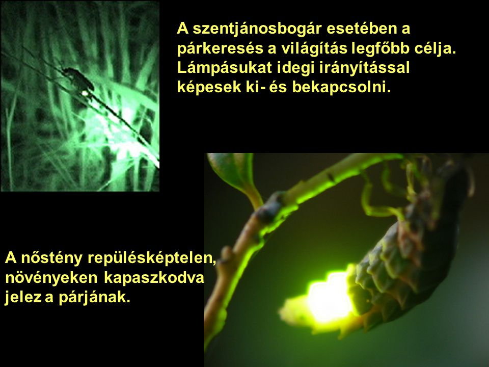 A legismertebb fénykibocsátó élőlény a szentjánosbogár, melynek mintegy 2000 fajtája ismert, ezek mindegyike képes fény kibocsátására.