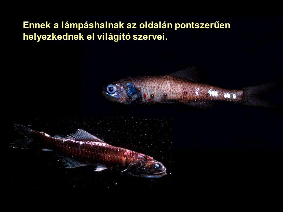 neonhal Mélytengeri világító halak Nagyon jellegzetes a mélytengeri állatok biolumineszcenciája. Vannak odalent világító halak, rákok, nyílférgek és m