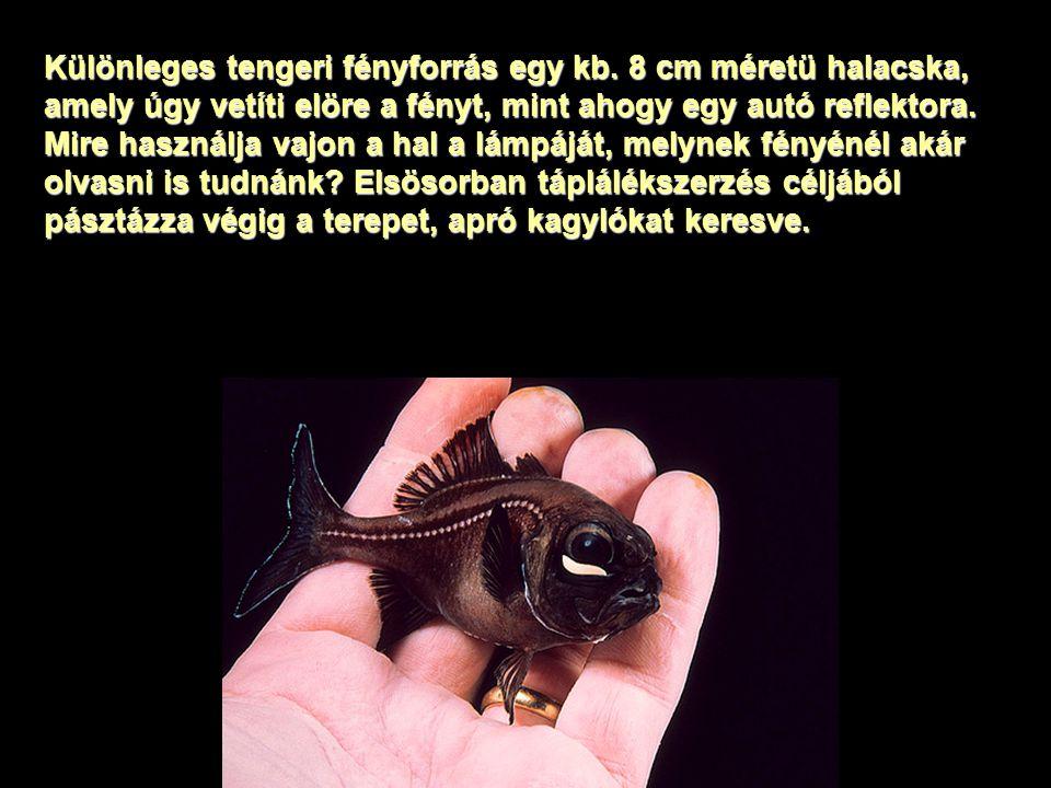 Különleges tengeri fényforrás egy kb. 8 cm méretü halacska, amely úgy vetíti elöre a fényt, mint ahogy egy autó reflektora. Mire használja vajon a hal