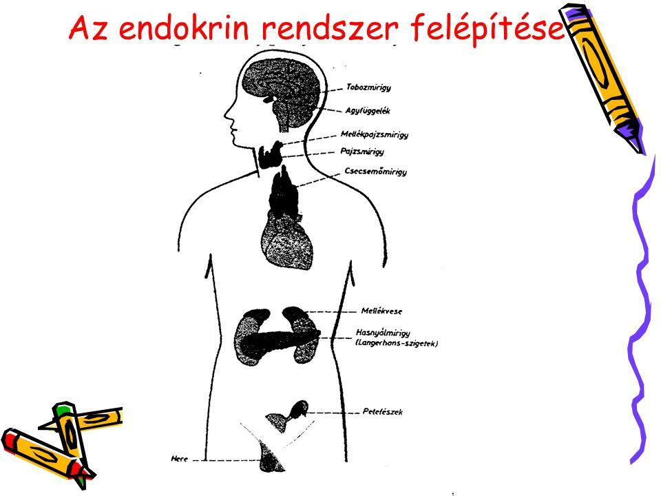 Az endokrin rendszer felépítése