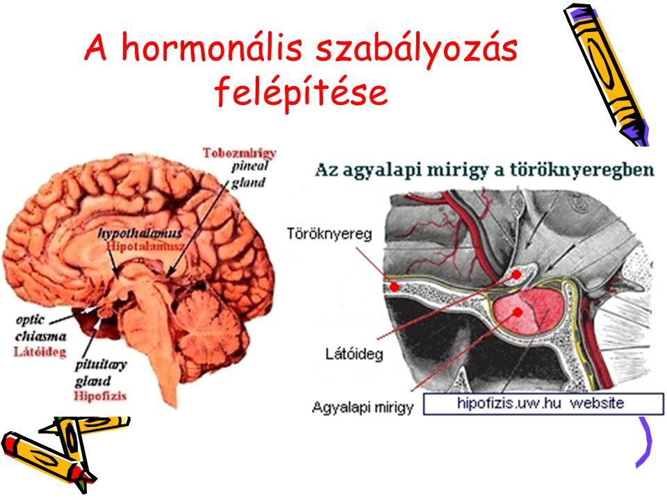 A hormonális szabályozás felépítése