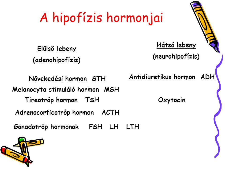 A hipofízis hormonjai Elülső lebeny (adenohipofízis) Hátsó lebeny (neurohipofízis) Növekedési hormon STH Melanocyta stimuláló hormon MSH Tireotróp hormon TSH Adrenocorticotróp hormon ACTH Gonadotróp hormonok FSH LH LTH Antidiuretikus hormon ADH Oxytocin