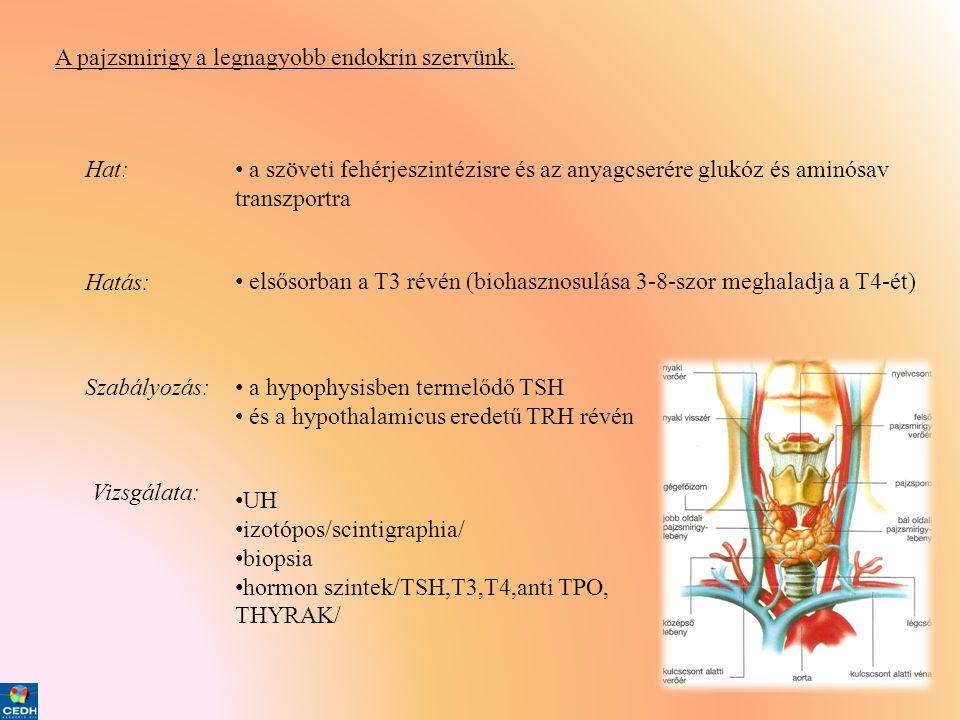 A pajzsmirigy a legnagyobb endokrin szervünk. Hat: • a szöveti fehérjeszintézisre és az anyagcserére glukóz és aminósav transzportra Hatás: • elsősorb