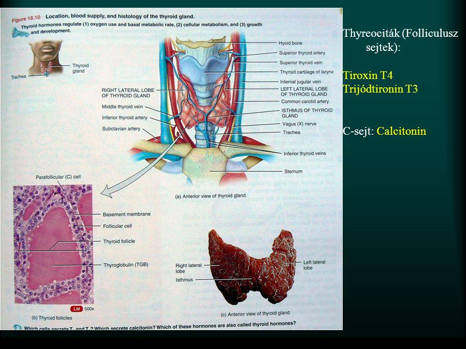 Pajzsmirigy Thyreociták (Folliculusz sejtek): Tiroxin T4 Trijódtironin T3 C-sejt: Calcitonin