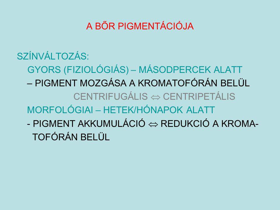 A BŐR PIGMENTÁCIÓJA SZÍNVÁLTOZÁS: GYORS (FIZIOLÓGIÁS) – MÁSODPERCEK ALATT – PIGMENT MOZGÁSA A KROMATOFÓRÁN BELÜL CENTRIFUGÁLIS  CENTRIPETÁLIS MORFOLÓ