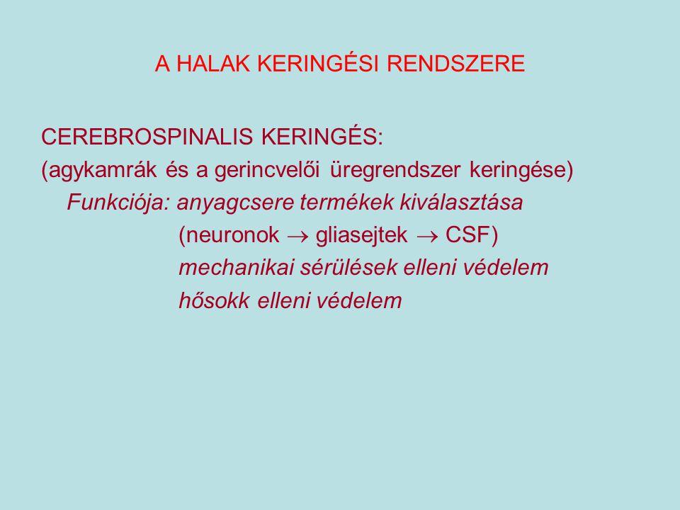 A HALAK KERINGÉSI RENDSZERE CEREBROSPINALIS KERINGÉS: (agykamrák és a gerincvelői üregrendszer keringése) Funkciója: anyagcsere termékek kiválasztása